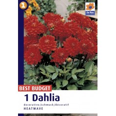 Dahlia Decorative Heatwave