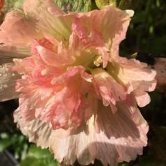 Alcea rosea Spring Celebrities Apricot / Stokrose