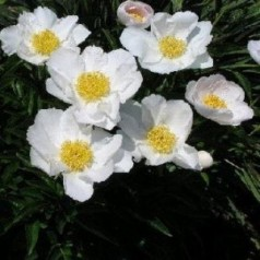 Paeonia lactiflora Krinkled White / Silkepæon