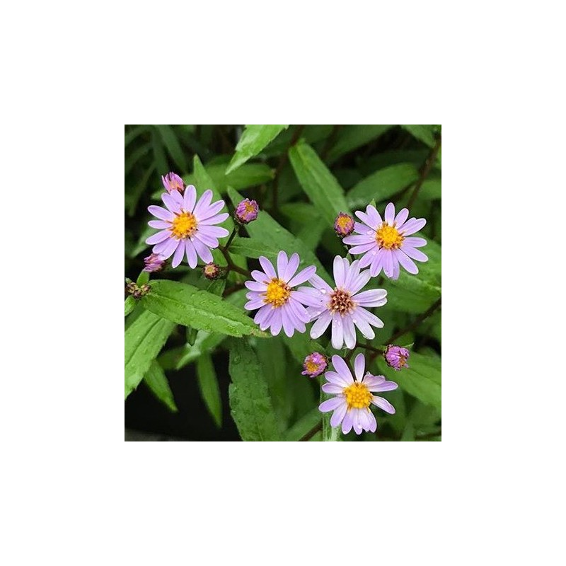 Aster ageratoides Harry Schmidt / Asters
