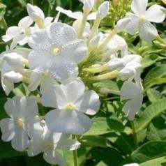 Phlox paniculata Fujiyama / Floks