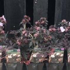 Geranium pratense Black'n White - Storkenæb