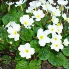 Primula juliae Schneekissen / Primula