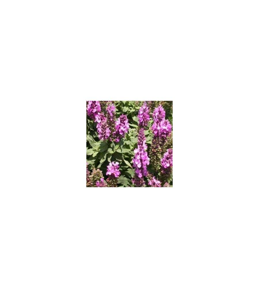 Salvia nemorosa Rosenwein / Salvie