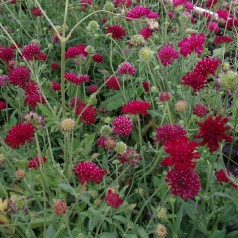 Knautia macedonica Thunder And Lightning® / Blåhat