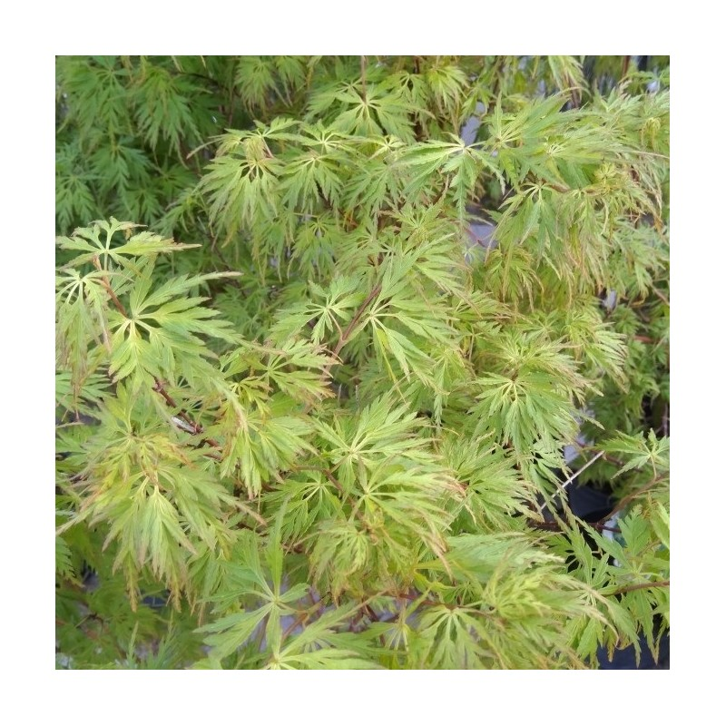 Acer palmatum Seiryu - Japansk Løn - Japansk Ahorn