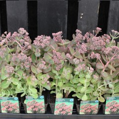 Sedum telephium Seduction Green-Pink / Sankthansurt