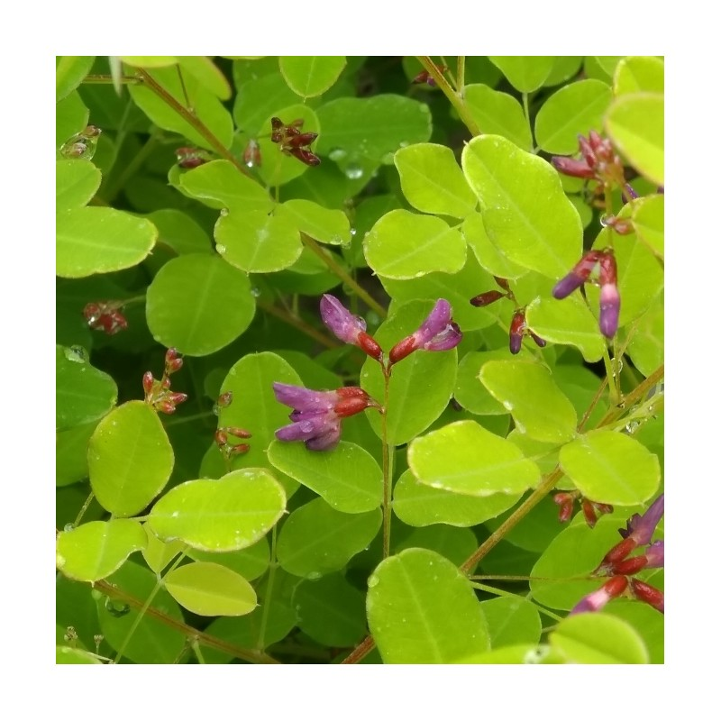Lespedeza bicolor Yakushima - Kløverbusk