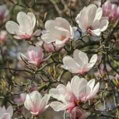 Magnolia soulangeana Superba - Magnolia