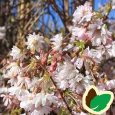Prunus subhirtella Autumnalis - Oktoberkirsebær / 200-250 cm.