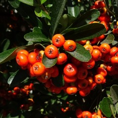 Pyracantha Orange Glow - Ildtorn