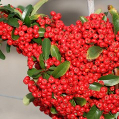 Pyracantha Red Column / Ildtorn
