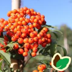 Sorbus commixta - Japansk Røn / 175-200 cm.