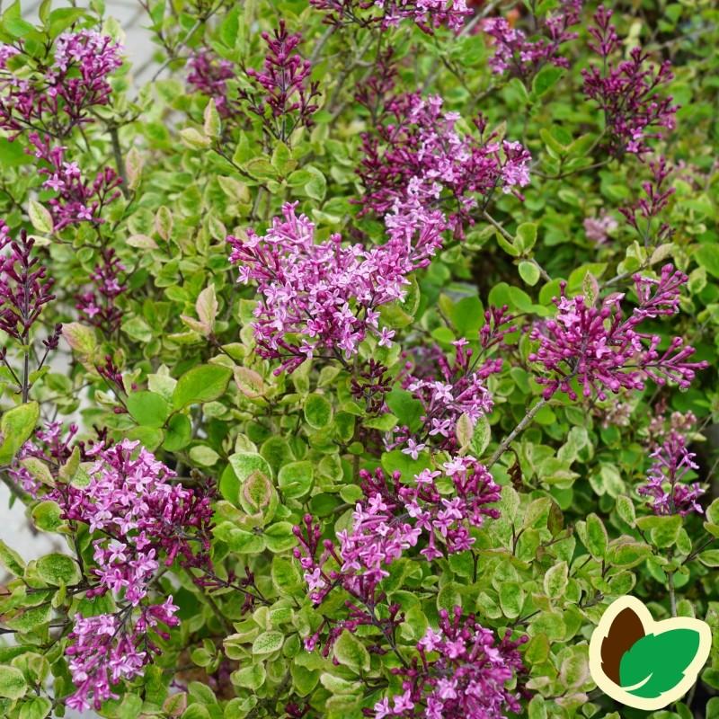 Syringa Bloomerang Dark Purple - Dværgsyren