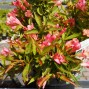 Weigela florida All Summer Peach - Klokkebusk