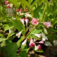 Weigela florida Marjorie - To farvet Klokkebusk