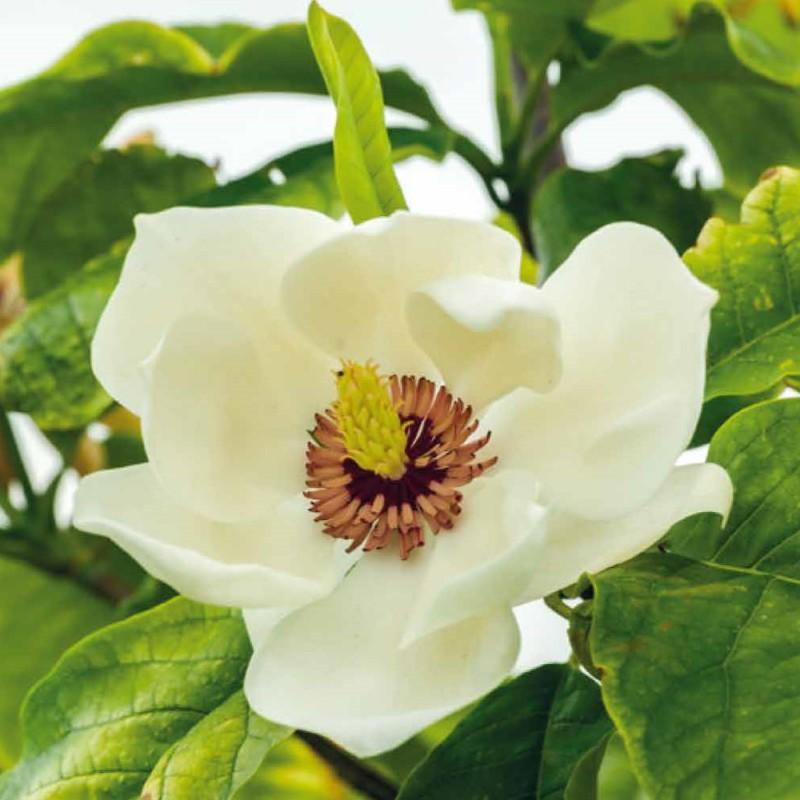Magnolia x wieseneri Aashild Kalleberg - Magnolie