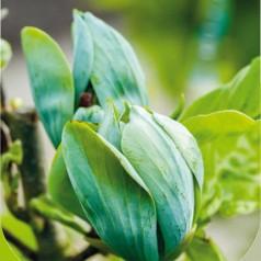Magnolia acuminata Seiju - Magnolie