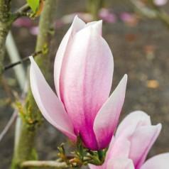 Magnolia Sentinel - Magnolie ( Tulipantræ )
