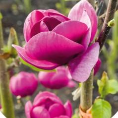 Magnolia soulangeana Black Tulip - Magnolie ( Tulipantræ )