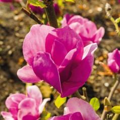 Magnolia Cleopatra - Magnolie ( Tulipantræ )