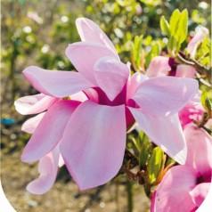 Magnolia Yaeko - Magnolie