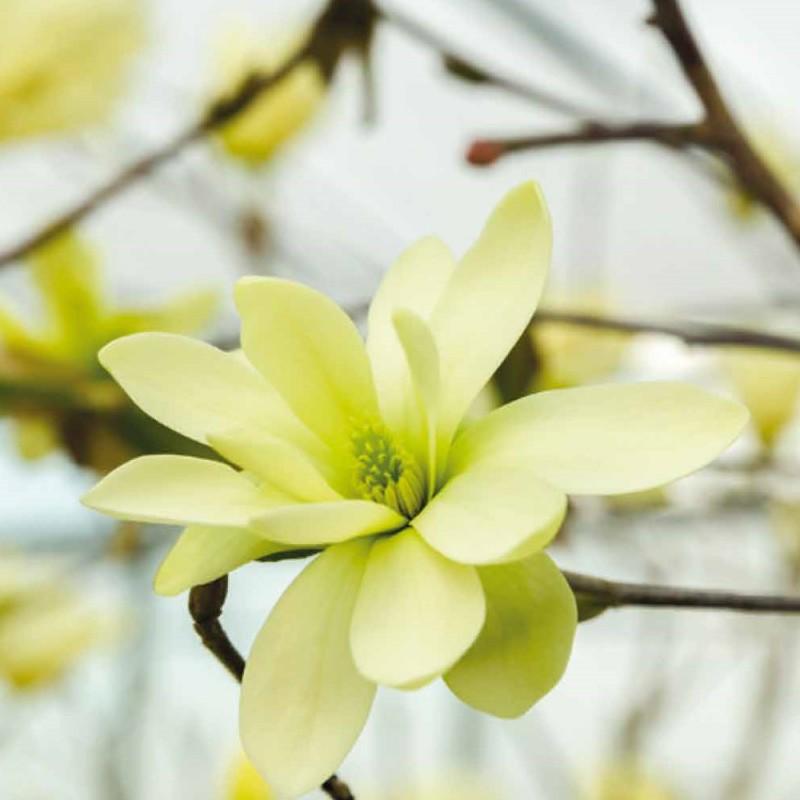 Magnolia acuminata Gold Star