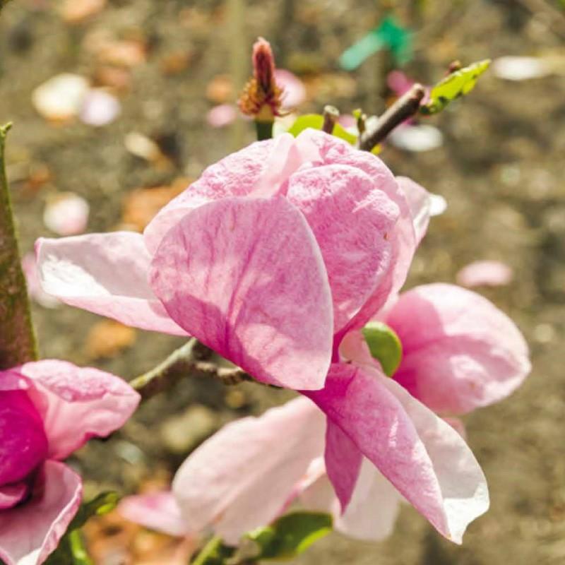 Magnolia Pink Delight - Magnolie ( Tulipantræ )