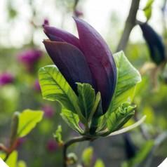 Magnolia Black Beauty - Magnolie ( Tulipantræ )