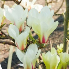 Magnolia Sunrise - Magnolie ( Tulipantræ )