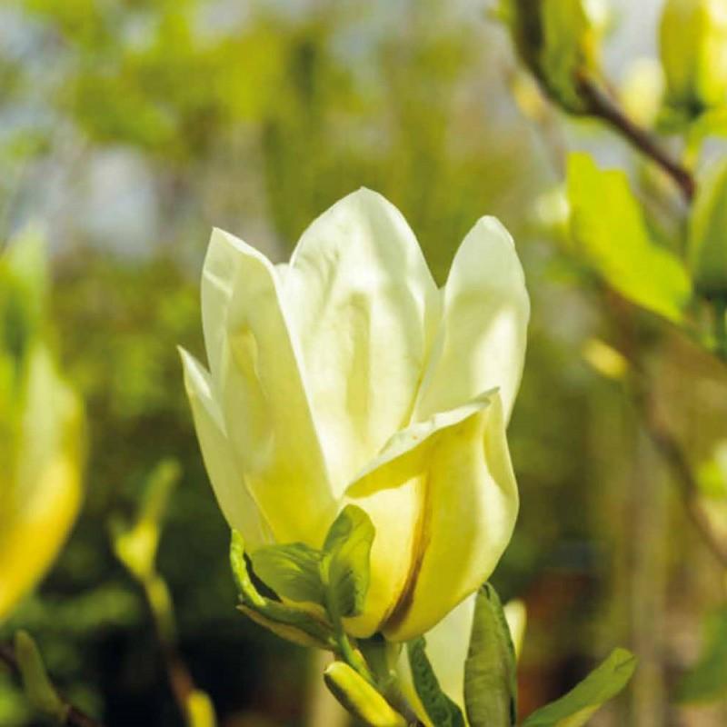 Magnolia acuminata Yellow Bird - Magnolie ( Tulipantræ )