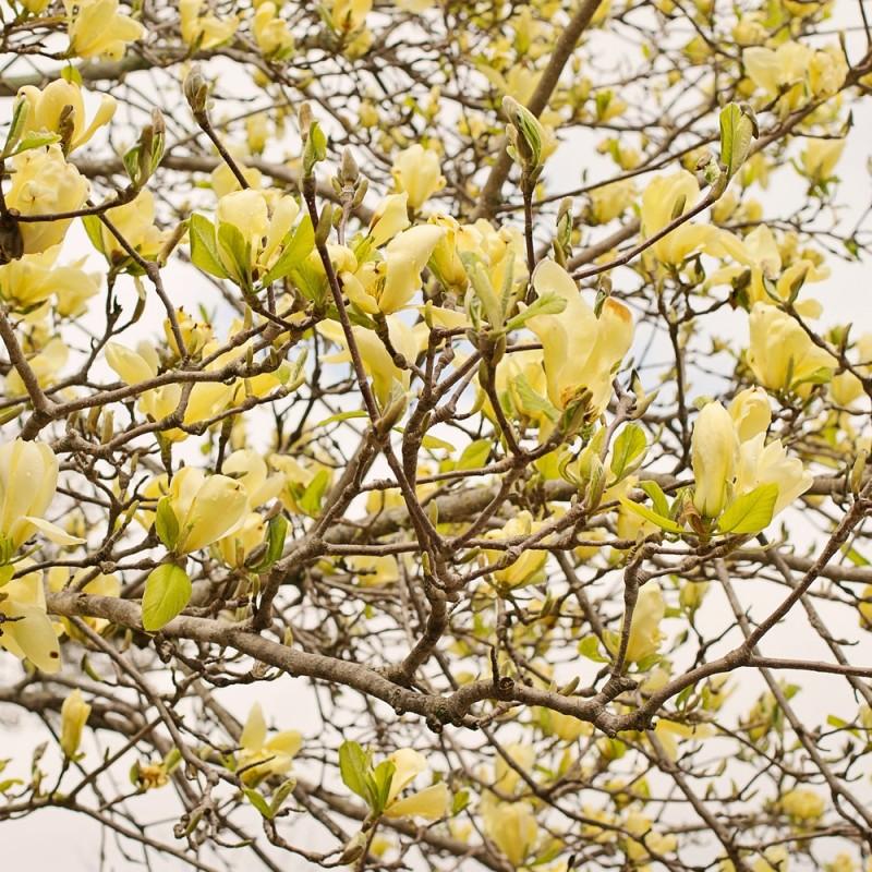 Magnolia Limelight - Magnolie ( Tulipantræ )
