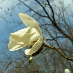 Magnolia Carlos - Magnolie ( Tulipantræ )