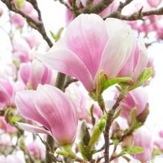 Magnolia Forrest Pink - Magnolie ( Tulipantræ )
