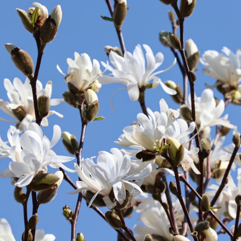Magnolia China Town - Magnolie ( Tulipantræ )