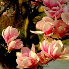 Magnolia Flamingo - Magnolie ( Tulipantræ )
