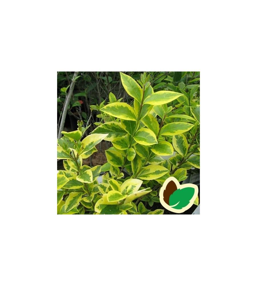 Ligustrum ovalifolium Aureum / Gulbroget Liguster