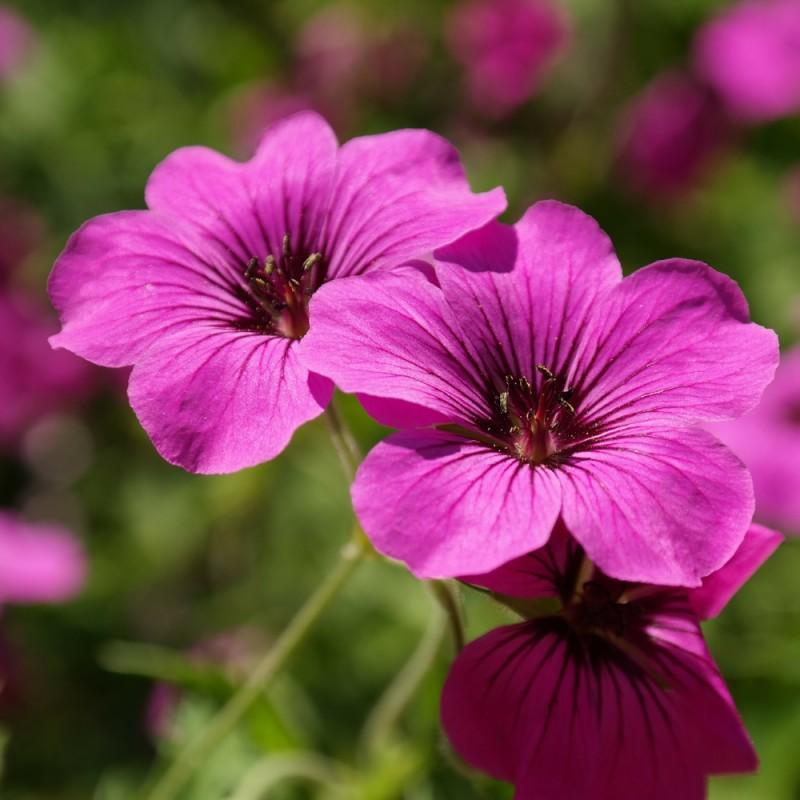 Geranium hybrid Ann Folkard / Storkenæb