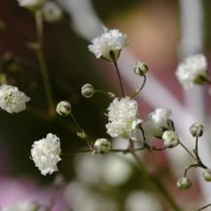 Gypsophila paniculata Bristol Fairy / Brudeslør