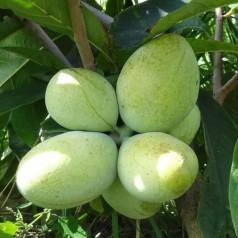 Indianer bananer Overleese / Asimina triloba / Paw Paw