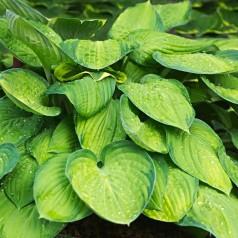 Hosta hybrid Pauls Glory / Funkia