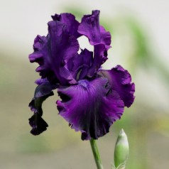 Iris germanica Sable / Iris