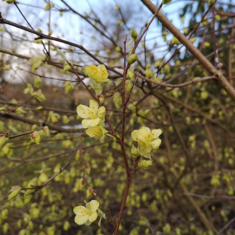 Corylopsis pauciflora - Hasselbror