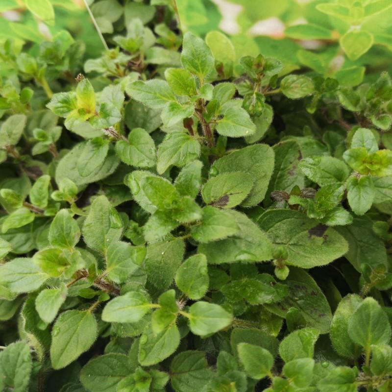 Origanum vulgare ssp hirtum / Pizza Origano