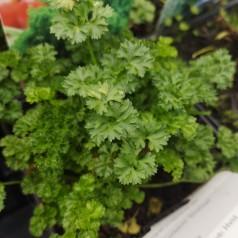 Petroselinum crispum Smagrad / Kruspersille