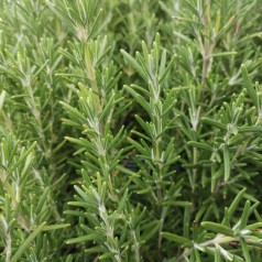 Rosmarinus officinalis Blue Winter / Rosmarin