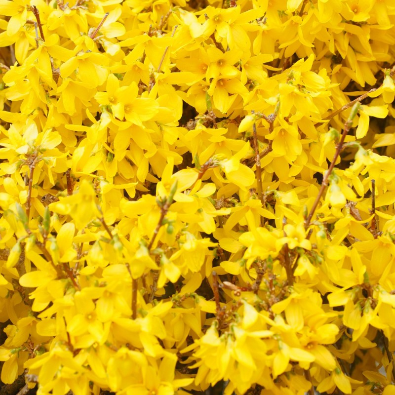 Forsythia intermedia Mikador - Vårguld