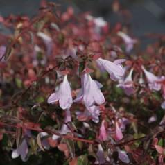 Abelia grandiflora Pinky Bells (Lynn)