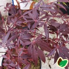 Acer palmatum Black Lace - Japansk Løn - Japansk Ahorn