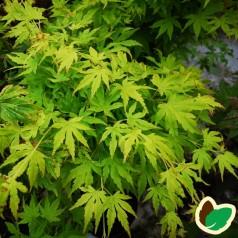 Acer palmatum Going Green - Japansk Løn - Japansk Ahorn